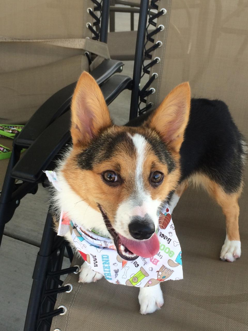 Khaleesi the Corgi